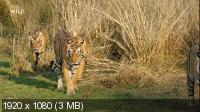 Схватка тигров / Clash of Tigers (2018) HDTV 1080i